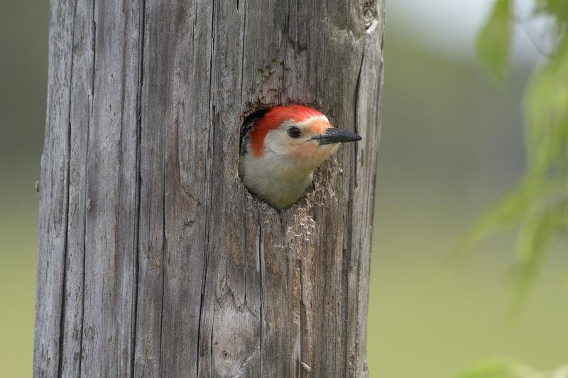 Peeping Woodpeaker