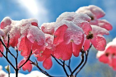 Dogwood in Snow
