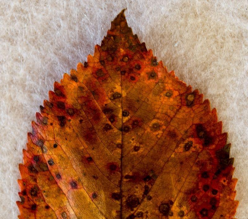 Leaf - Macro