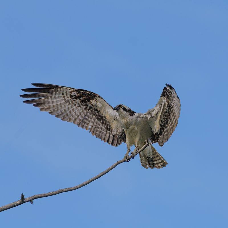 Osprey Male landing on a thin branch
