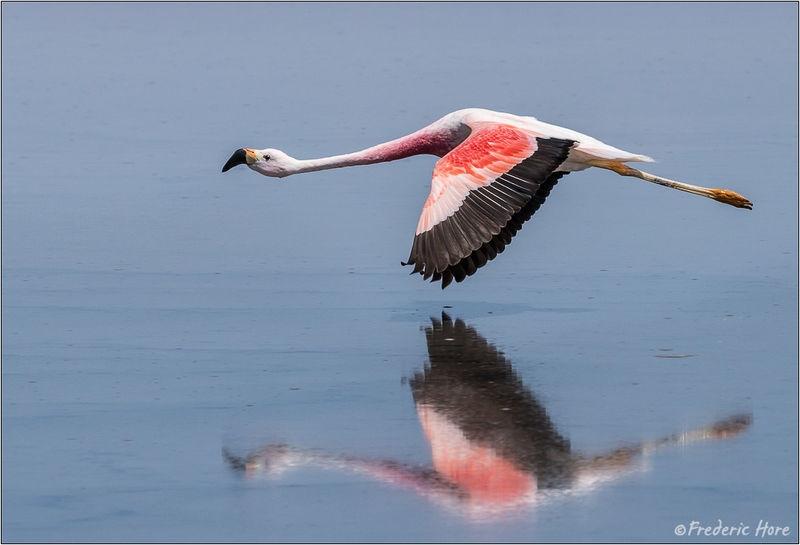 Chilean Flamingo in flight