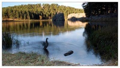 Sylvan Lake Morning Duck