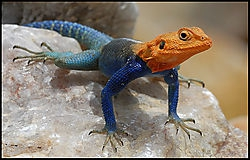 Red headed agama (louis)
