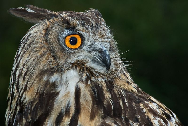 European Eagle Owl -  FNL_3519