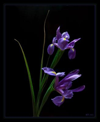 How to use black background for floral macro photography