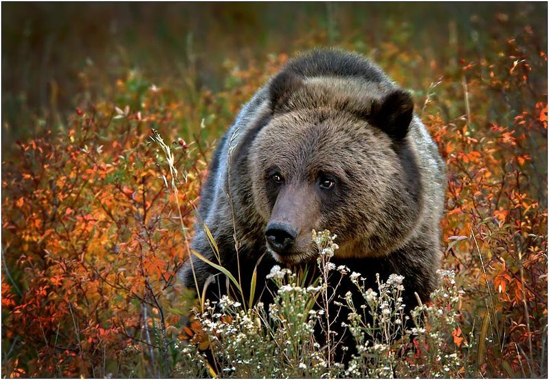 Young Grizzly Portrait