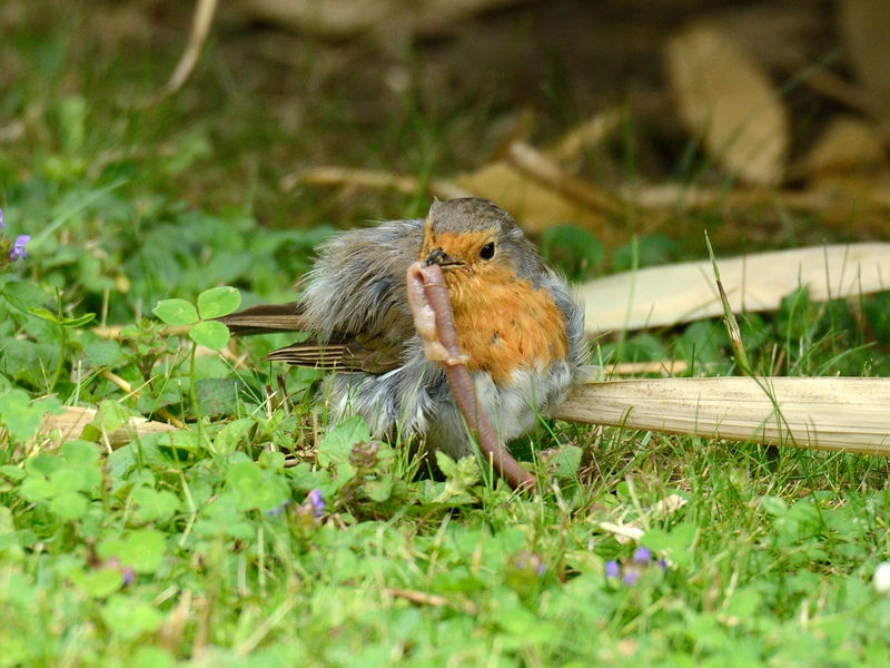 Baby European Robin with a Worm