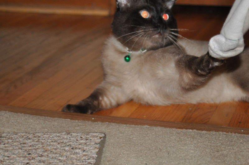 Cat stealing sock  #2