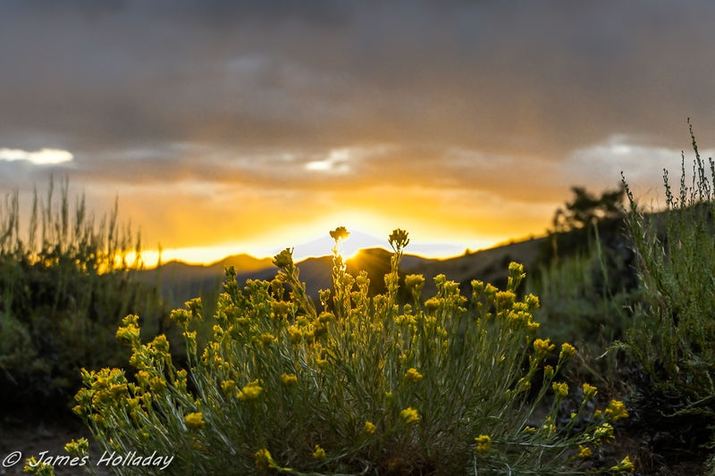 Rabbit Brush Sunset