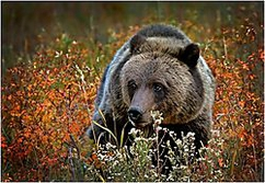 "Winner November Wildlife Theme: ""Animal Portrait""  ""Young Grizzly Portrait""  D70, Nikon 80-200, ISO 800, f5.6@1/500"