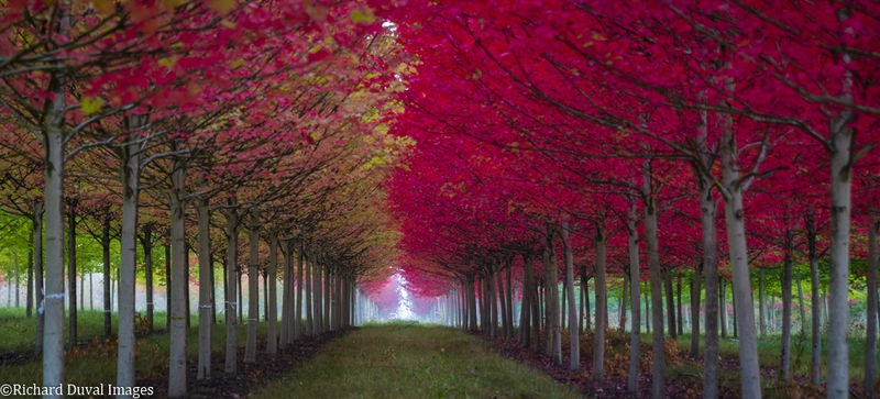 Maple a'fire 2