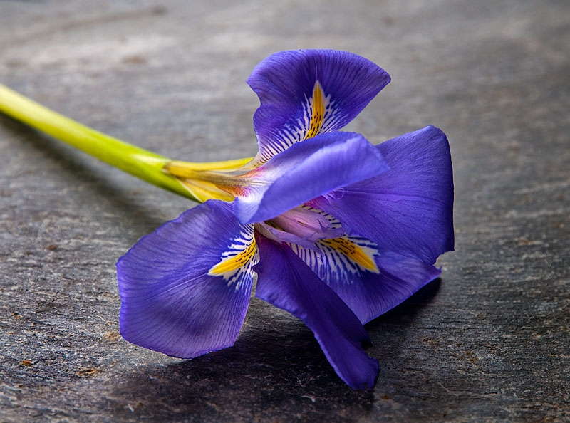 Iris on Slate