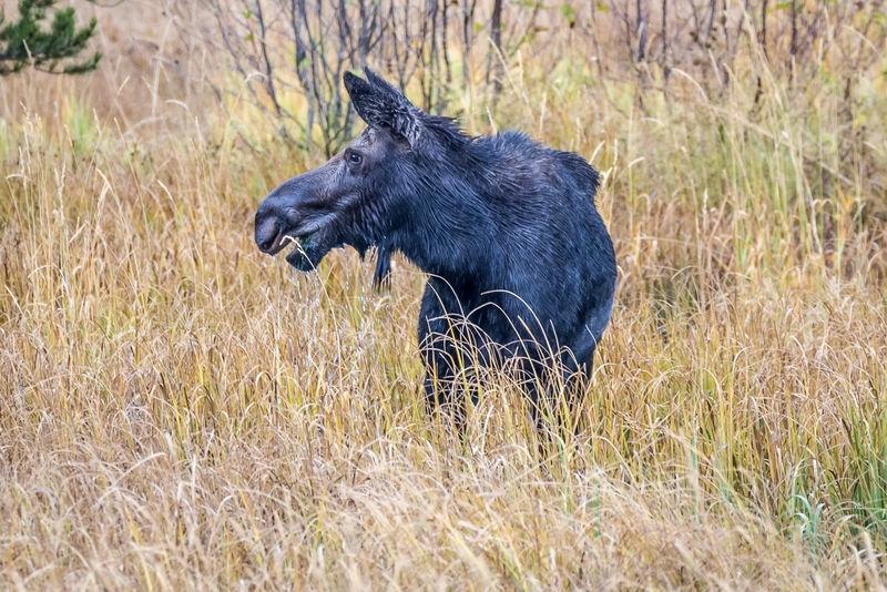 Moose Cow - Grand Teton NP