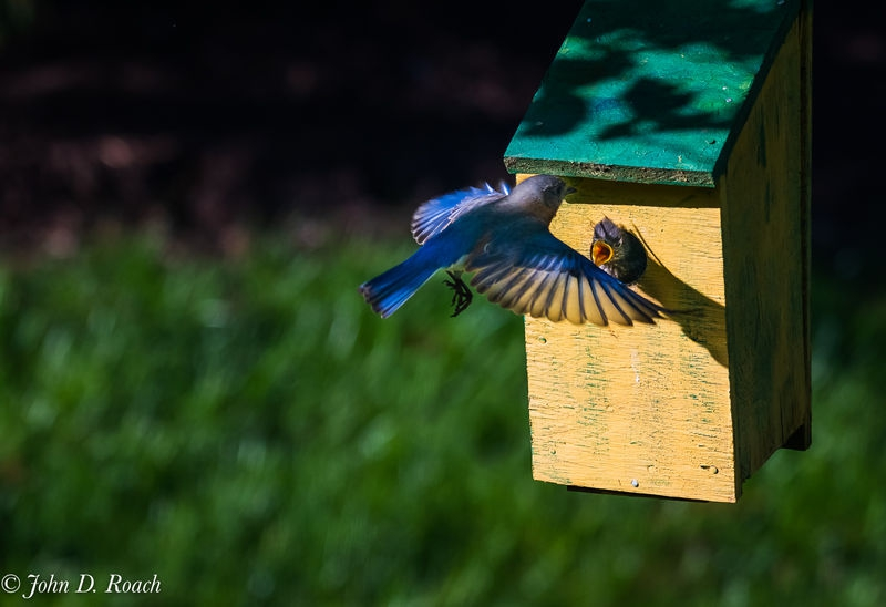 Bluebird meal time