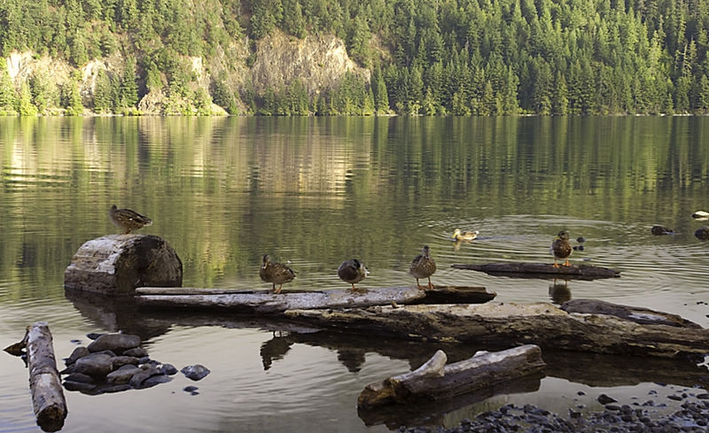 Lake Crescent ducks