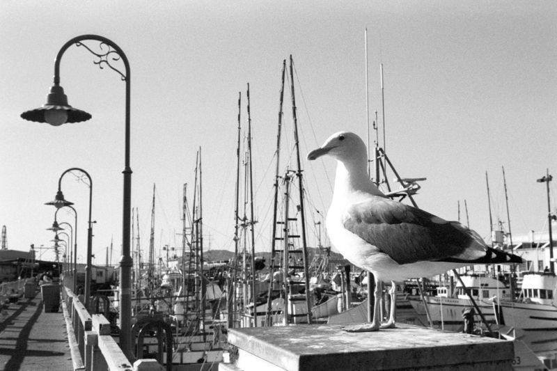 Seagull in SF harbor