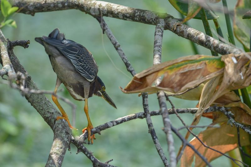 Butorides virescens-Green Heron