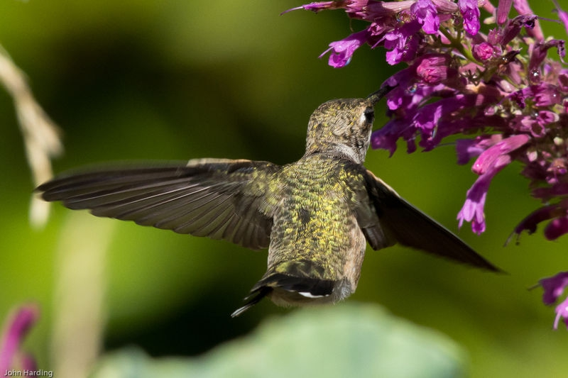 Anna_s_Hummingbird_back_and_wing_detail