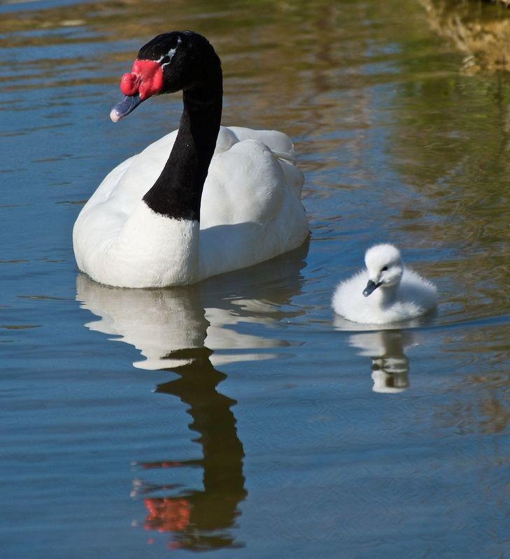 Black -Necked Swan & Cygnet
