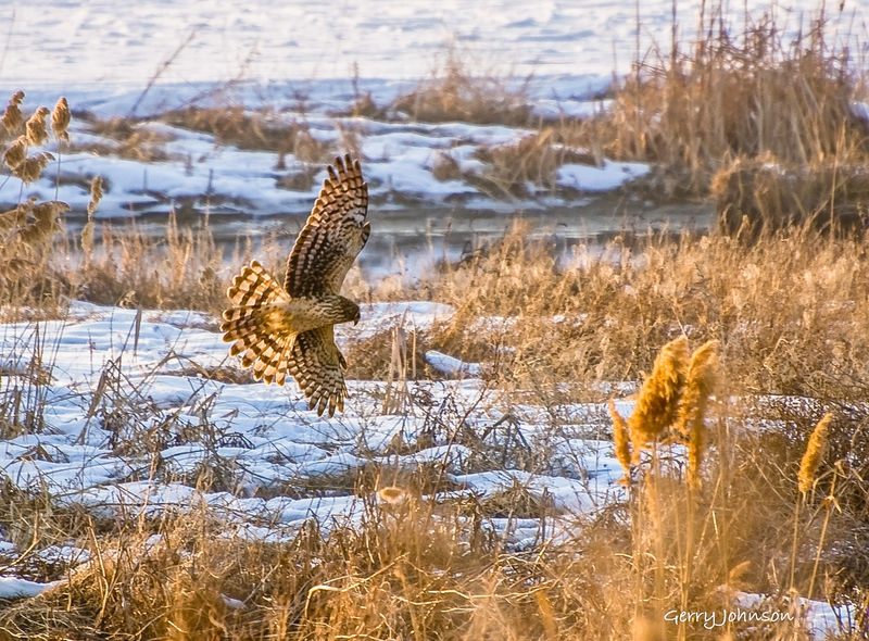 Hunting Harrier