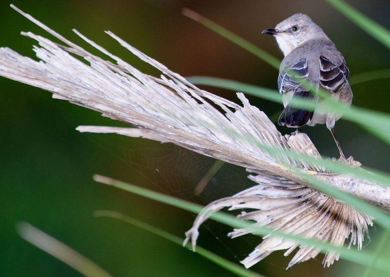 Mimus polyglottos-Northern Mockingbird