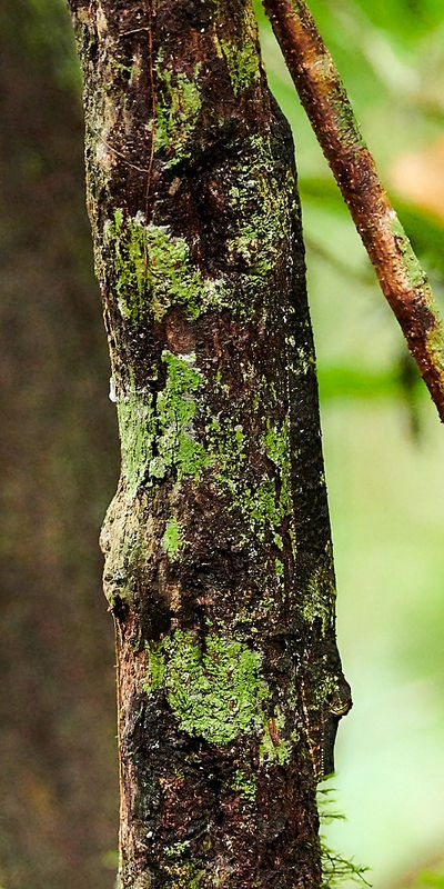 Mossy leave-tailed Gecko blending in