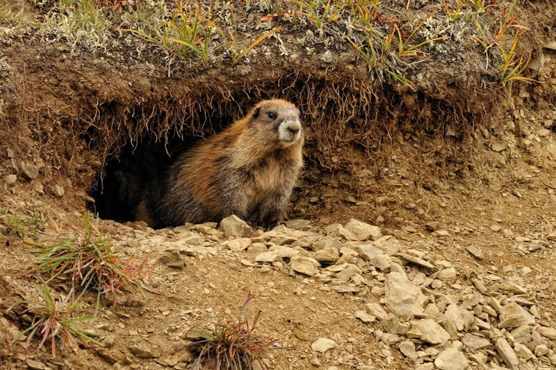 curious marmot on the Obstruction Point Road