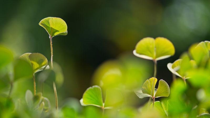 Marsilea Leaves