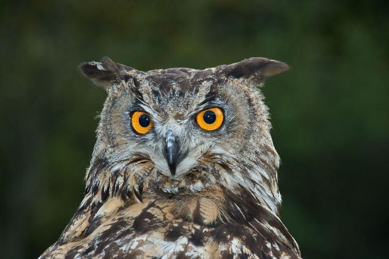European Eagle Owl -  FNL_3508