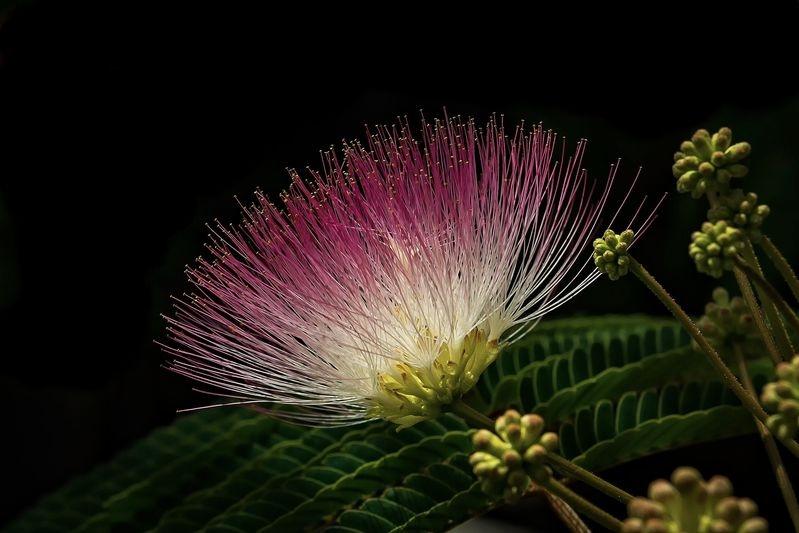 Silk tree ripe for pollination