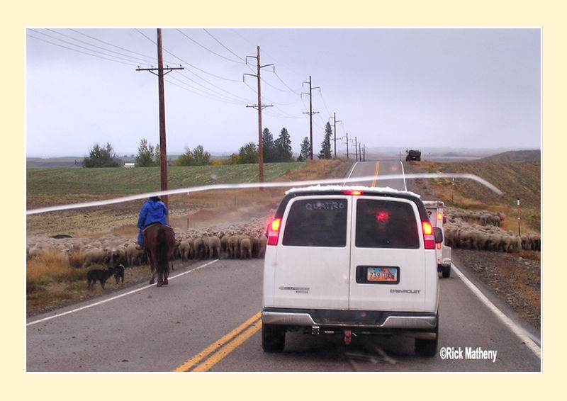 Sheep on the Road2