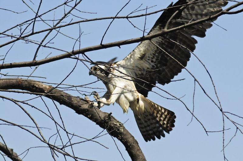 Osprey Landing on a branch