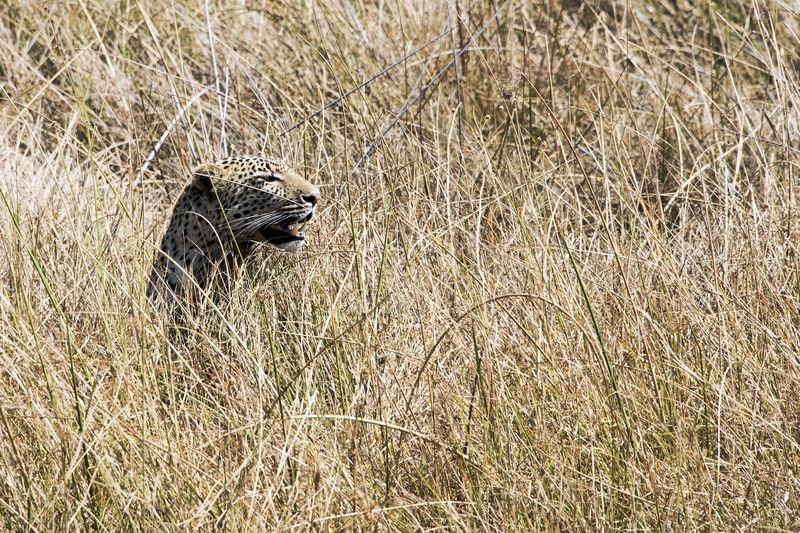 Leopard Stalking –  Hiding Wildlife