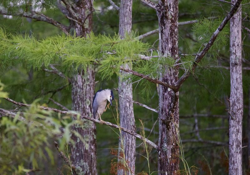 Nycticorax nycticorax-Black Crowned Night Heron