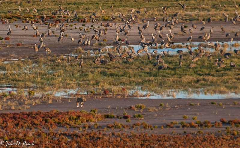 Cyote and Sand Hill Cranes