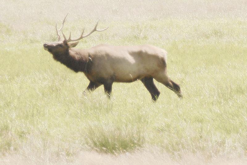 Elk_Aglow_3