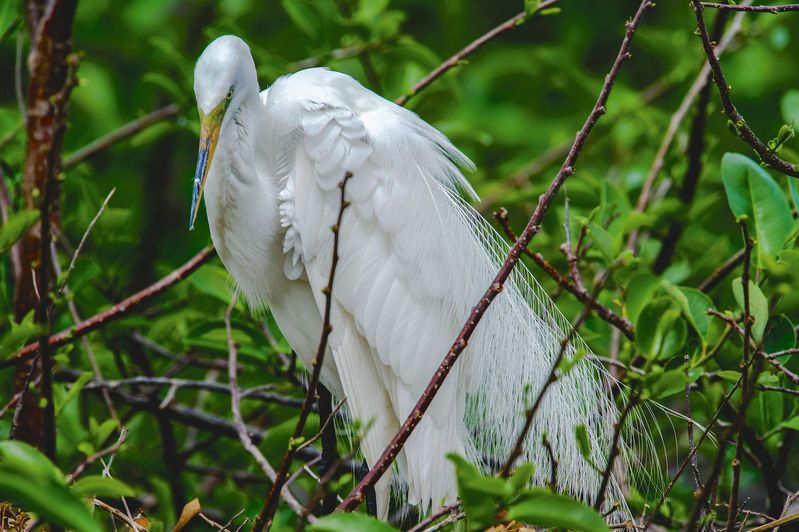 Ardea alba-Great Egret