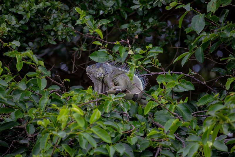Green Iguana-Invasive Species to Florida's Eco System.