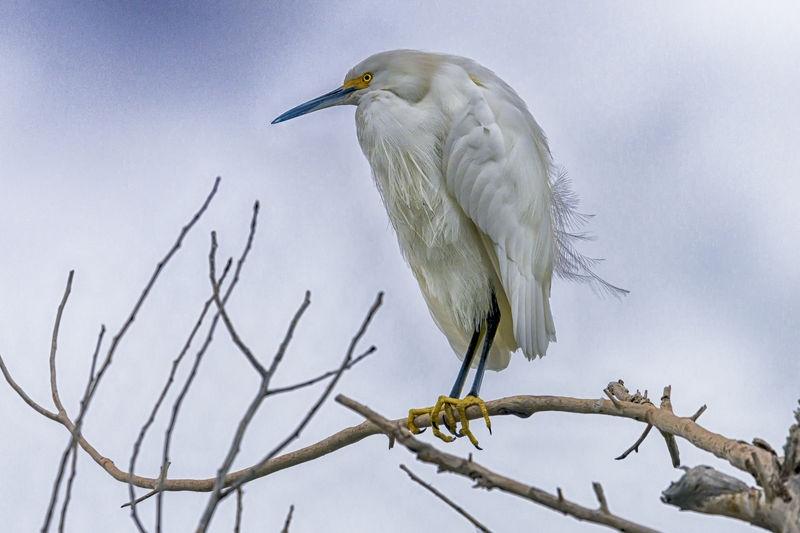 Snowy Egret in a Winter Sky