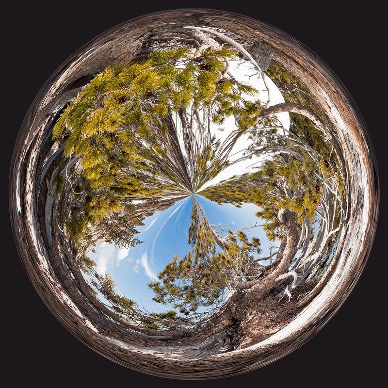 Twirl #2, Bristlecone Pine
