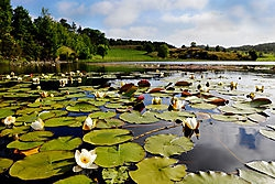 Water Lillies /geneluck/