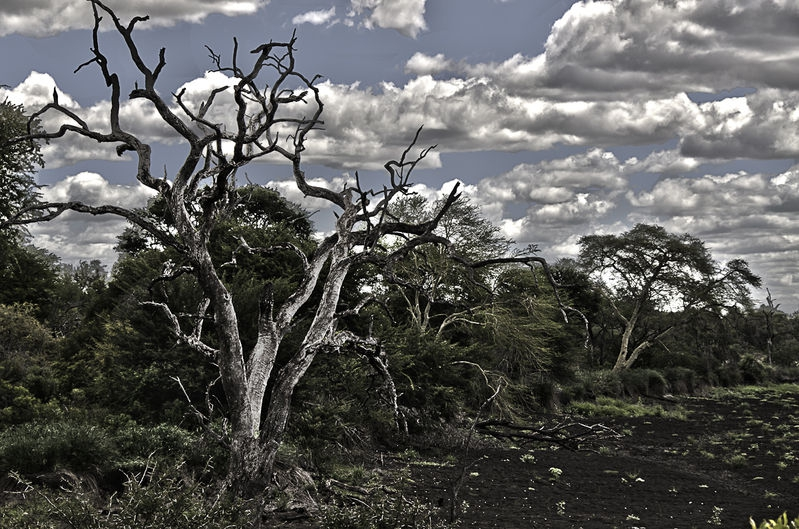 Dead Tree-South Africa