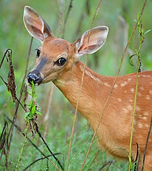 Adorable Whitetail F... /Lunastar/