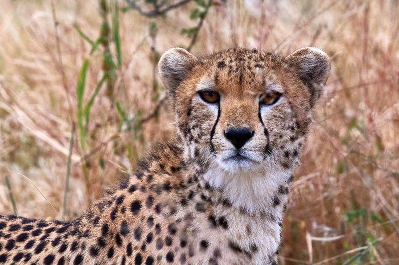 Cheetah (Tarangire National Park)