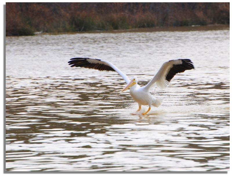 Water Skiing Pelican
