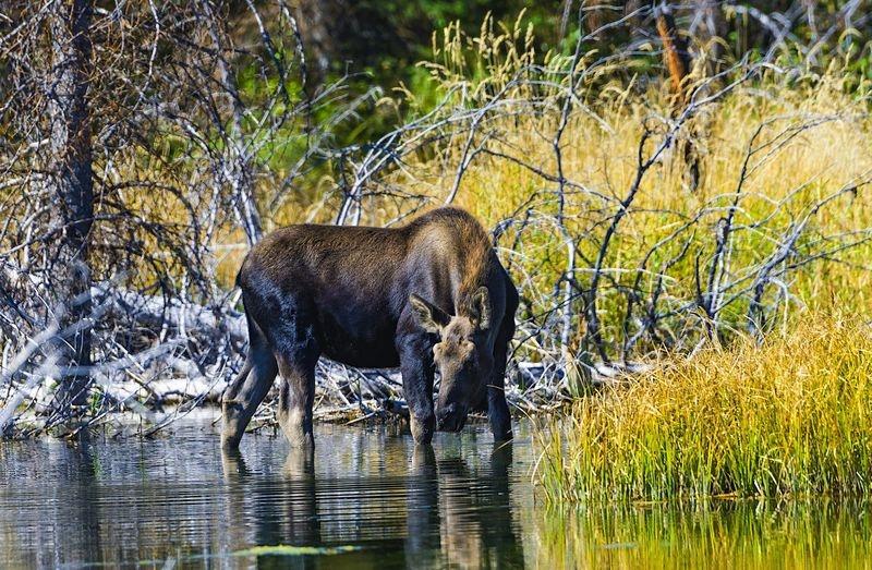 Moose Cow - Jackson Hole, WY