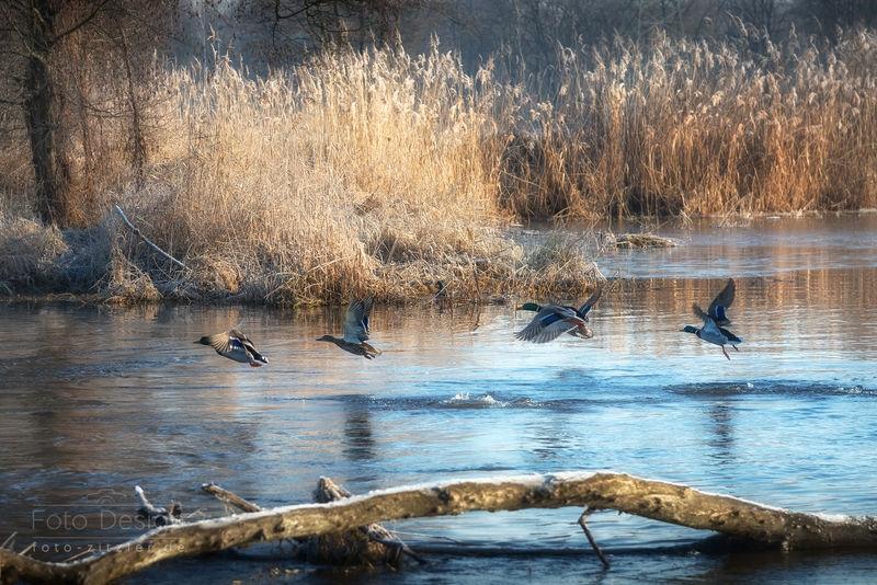 early ducks