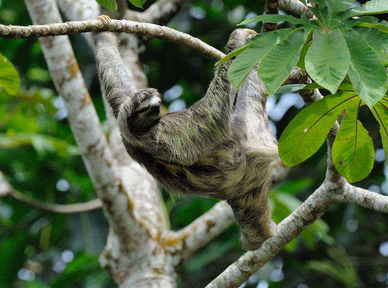Sloth in Puerto Limon, Costa Rica