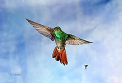 A Rufous-Tailed Hummingbird (wild). Captured in Panama. One (cropped) image.