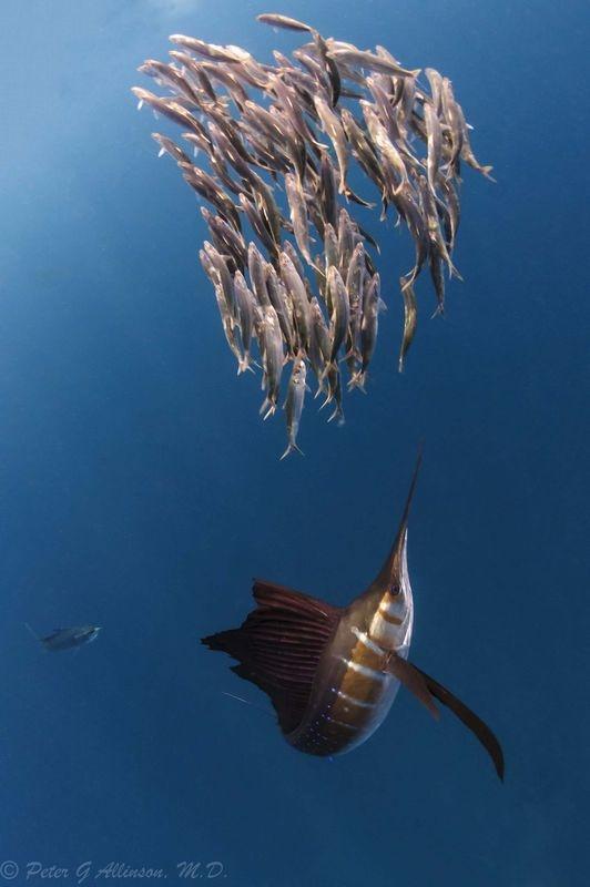 Billfish (Sailfish & Marlin)